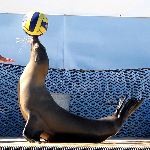 Sea lion balancing a ball on its nose