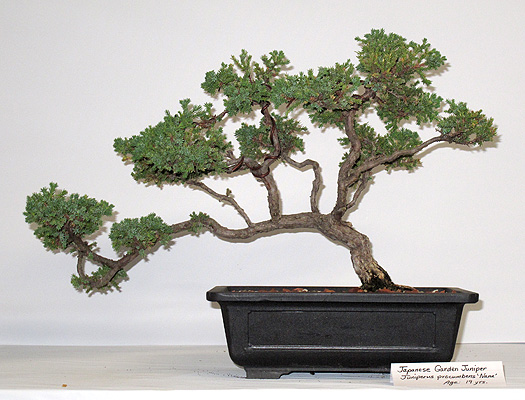 14-year-old Bonsai of Japanese juniper