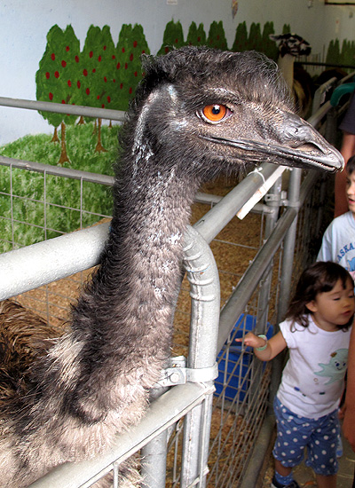 Head of the emu in the petting barn.