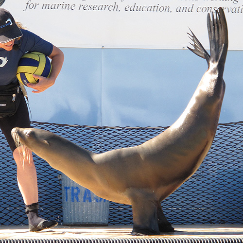 sea lion doing flipper stand