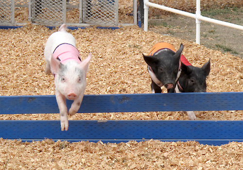 Racing pigs hurdling the first hurdle (Strawberry in the lead)