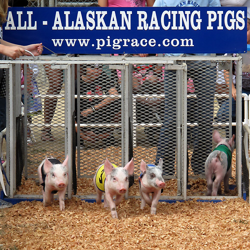 A typical start to a pig race.