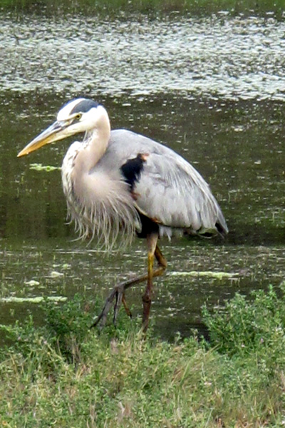 I believe that this heron we saw is a great blue heron, based on pictures of herons I found on the web.
