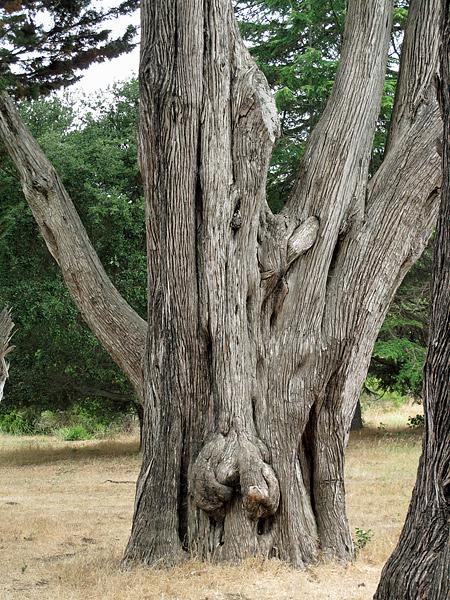 obscene-cypress