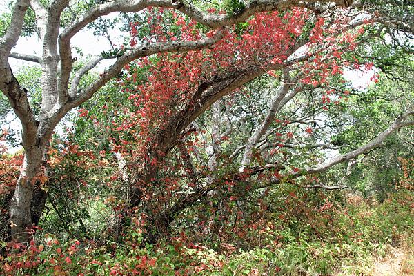 poison-oak-in-tree