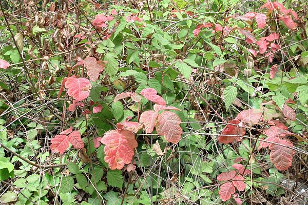 poison-oak-leaves