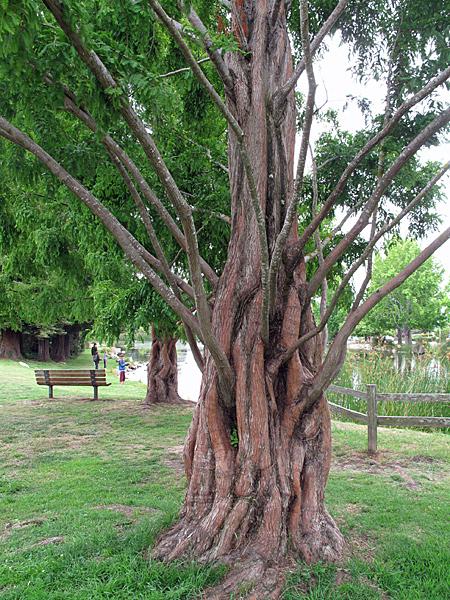 Westlake-tree