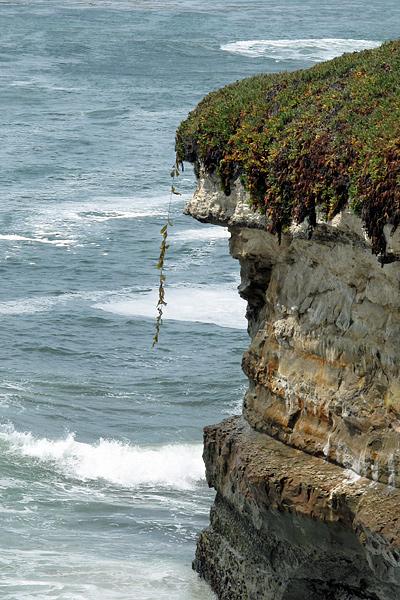 kelp_on_cliff
