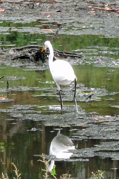 Great-egret-2