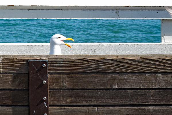 seagull-head