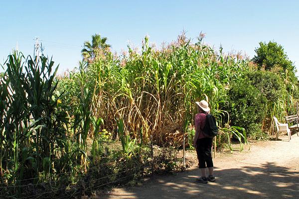 tall-corn